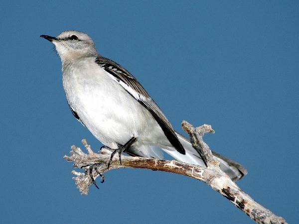 how many other states have the mocking bird as their state bird i know mississippi does